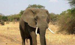 فيل.jpeg