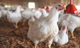 الدجاج.jpg