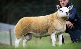 أغلى خروف في العالم.jpeg