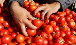 الطماطم في غزة.jpg