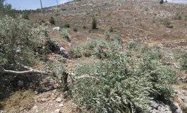 مستوطنون يعتدون على اشجار الزيتون.jpg