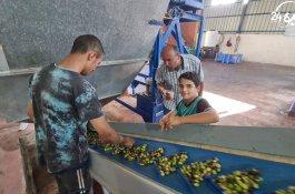 جولة داخل معاصر الزيتون في غزة